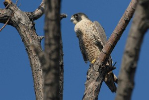 Peregrine, falcon, fugl, tree, falco peregrinus