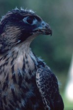 Peregrine Falk, fugl, portrett, nært hold, falco peregrinus