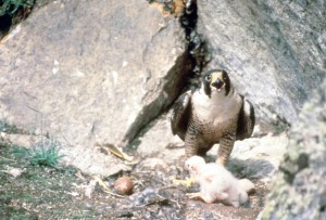 wędrowny, ptak i piskląt, falcon nest