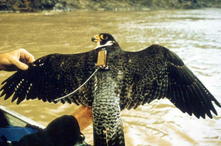 Peregrine, falcon, fugl, radio, enhet