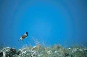 Peregrine, falcon, birn, landing, grond, falco peregrinus anatum