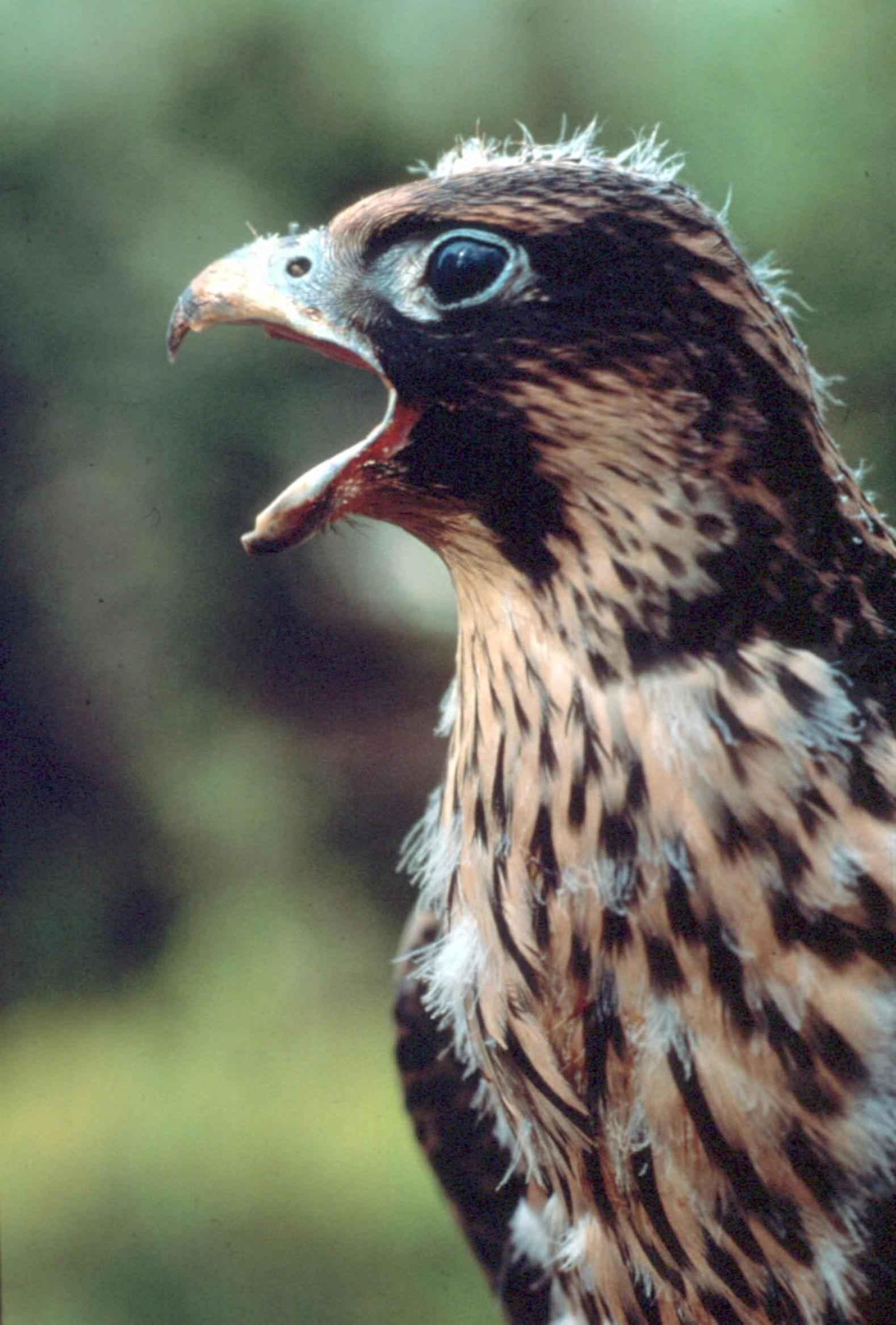 imagem gratuita falcão peregrino falcão pato falcão pássaro