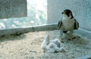 pèlerin, faucon, femelle, oiseau, nid, poussins