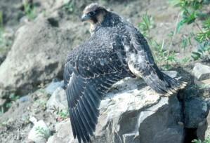pèlerin, faucon, juvénile, jeune, oiseau