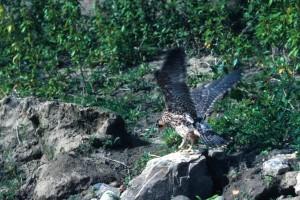 peregrine, falcon, rocks