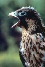 pèlerin, faucon, rapace, oiseau, tête