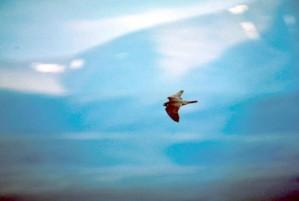 pèlerin, faucon, rapace, oiseau, vol