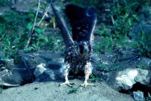 wędrowny, Sokół, młody ptak, falco peregrinus