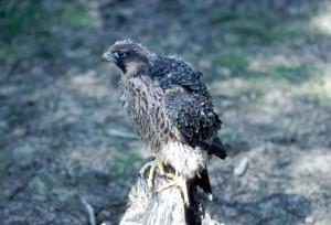 peregrine, falcon, young, chick, falco peregrinus