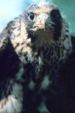 peregrine, immature, young, birds, falcon