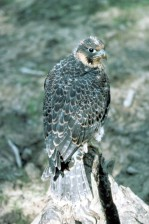 Młodzi, wędrowny, Sokół, ptak, falco peregrinus anatum