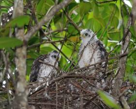 puerto, Rican, pointu, shinned, havk, oiseau, poussins, nid, accipiter, striatus