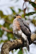 Puerto Rico, sharp, shinned, hawk, tree, limb