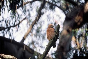 red, shouldered, hawk, buteo, lineatus