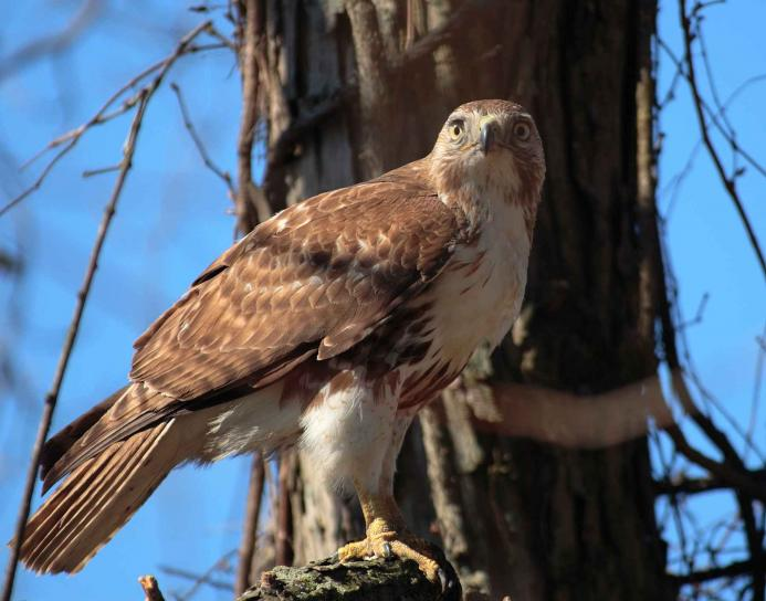 red, tailed, bird, hawk, buteo jamaicensis