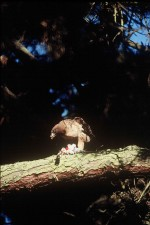 rouge, queue, faucon, oiseau, buteo jamaicensis