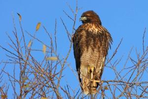 red, tailed, hawk, bird, tree