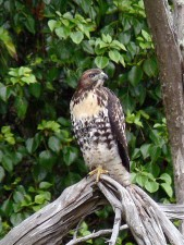 red, tailed, hawk, buteo jamaicensis