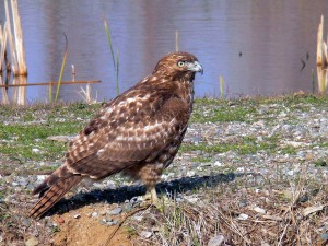 red, tailed, hawk, standing, ground