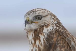 rough, legged, hawk, bird, buteo, lagopus