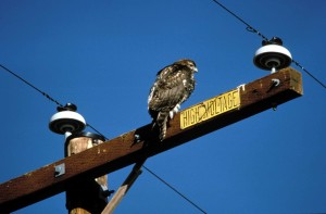 rough, legged, hawk, power, lines