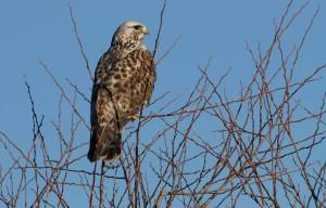 rough, legged, hawk, tree