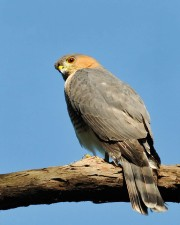 sharp, shinned, hawk, bird, male, sitting, tree, branch