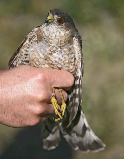 sharp, shinnes, hawk, bird, accipiter, striatus
