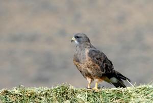 swainson, hawk, bird, ground, buteo, swainsoni