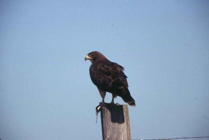 swainson, hawk, bird, picture, buteo, swainsoni