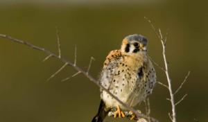 young, American, kestrel, sparrow, hawk, bird, falco sparverius, snag