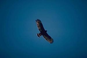 zone, tailed hawk, vogels, vliegen, blauwe hemel, buteo albonotatus