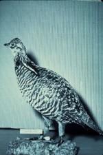 bruyère, poule
