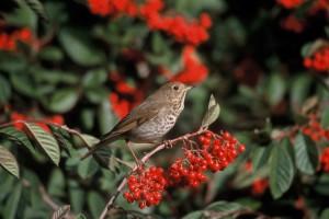 hermit, thrush, animal, bird, branch, catharus, guttatus