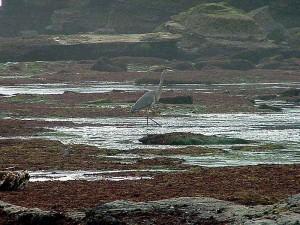 птици, чапли, плажове, tidepools