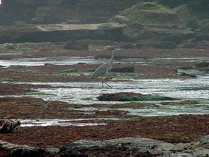 ชายหาด นกกระสา นก tidepools