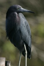 up-close, photograph, nonbreeding, little, blue, heron, bird, egretta, caerulea