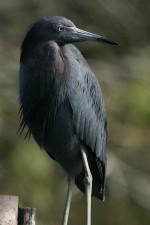 up-close, photograph, nonbreeding, little, blue, heron, bird, egretta, caerulea