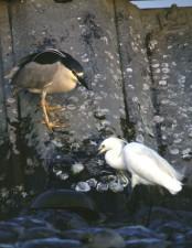 black, crowned, night heron, snowy, erget, birds, nycticorax nycticorax, egretta thula