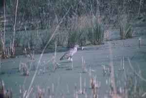 black, crowned, night heron, hunts, marsh