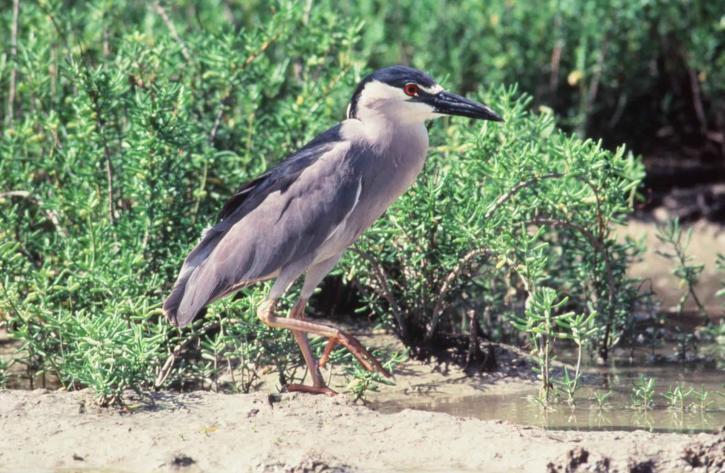 black, crowned, night heron, coast, grass