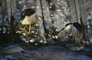 black, crowned, night herons