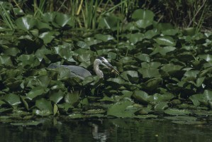 heron, blue, bird, wading, lily, pads