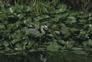 heron, blue, bird, wading, lily, pads