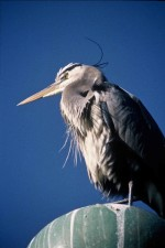 heron, head