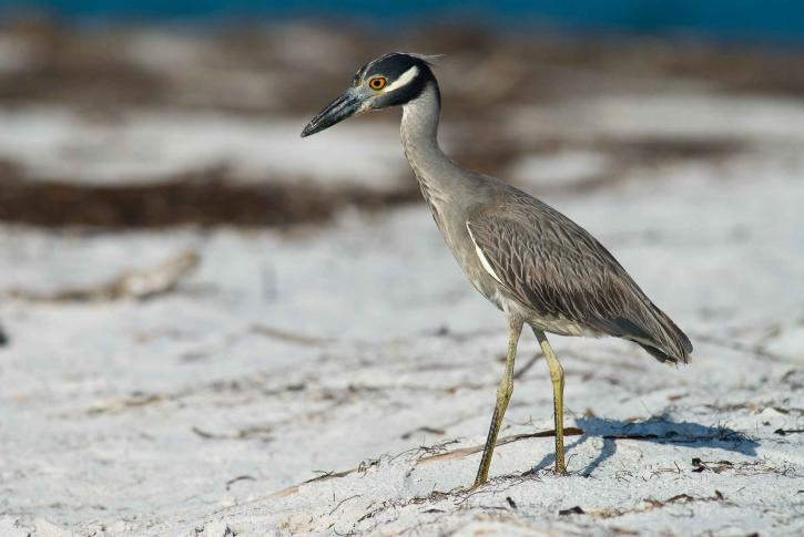 juvenile, yellow, crown, night heron