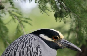 yellow, crowned, night heron, nyctanassa, violacea, nycticorax