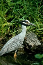 yellow, crowned, night heron, American, night heron, squawk, bird, nyctanassa, violacea