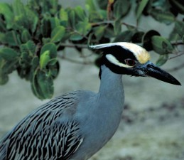 yellow, crowned, night heron, wading, bird, roost, trees, beaches, woods, swamps