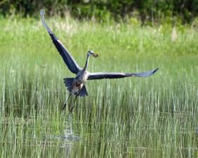 great, blue, heron, flies, catch, ardea herodias